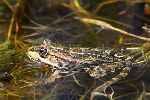 marsh frog in natural environment Stock photo © taviphoto