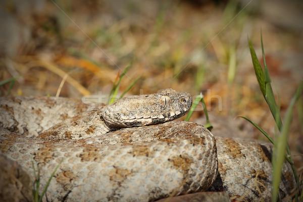 Stock photo: Macrovipera lebetina schweizeri portrait