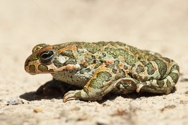 profile image of green toad Stock photo © taviphoto
