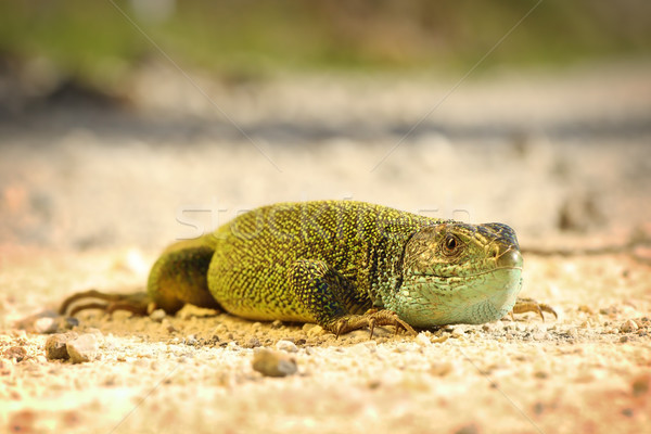 male green lizard on ground Stock photo © taviphoto