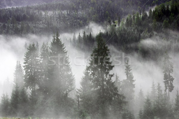 spruces in the mist Stock photo © taviphoto