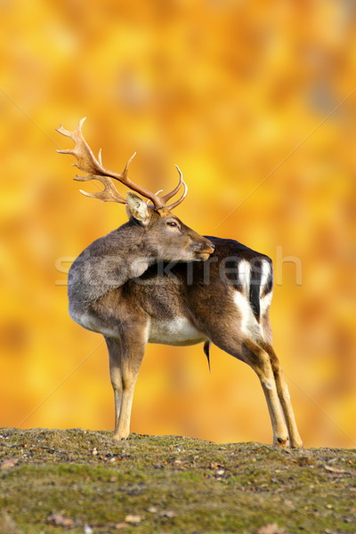 big fallow deer buck Stock photo © taviphoto