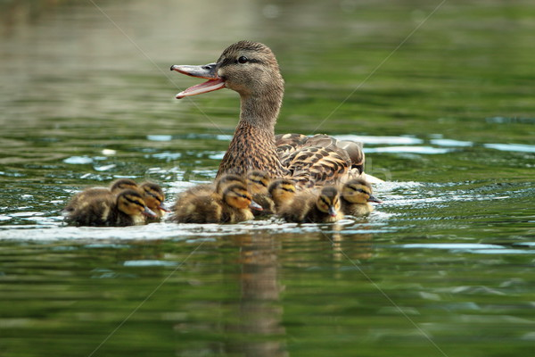mother mallard duck on water Stock photo © taviphoto