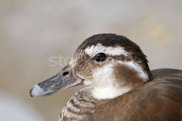 female mandarin duck portrait Stock photo © taviphoto