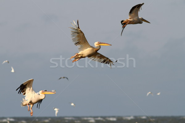 pelicans flying in formation  Stock photo © taviphoto