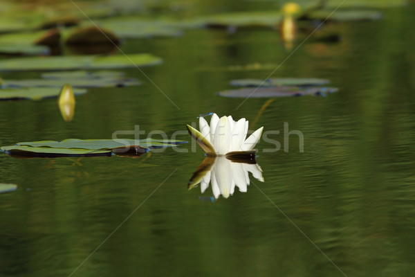 white water lily flower Stock photo © taviphoto