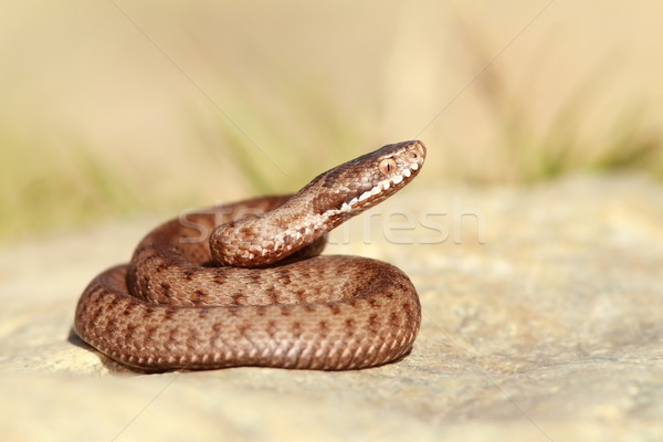 beautiful european common adder Stock photo © taviphoto
