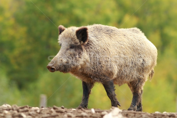 big wild boar in a glade Stock photo © taviphoto