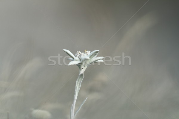 edelweiss wildflower over out of focus background Stock photo © taviphoto