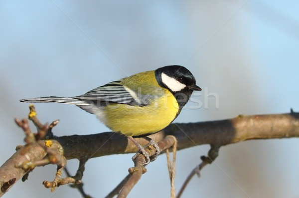 great tit perched on tree in the garden Stock photo © taviphoto