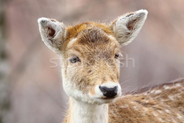 Ritratto singolare cervo testa bella pelliccia Foto d'archivio © taviphoto