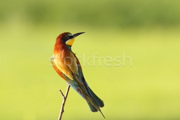 colorful bee eater over green background Stock photo © taviphoto