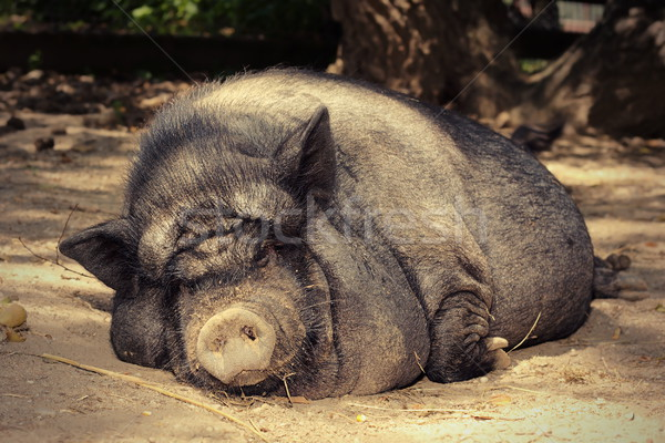 Grasso pigro suino dormire terra farm Foto d'archivio © taviphoto