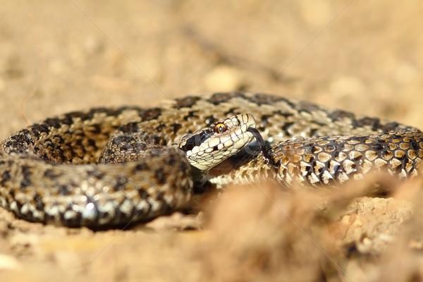 meadow viper ready to strike Stock photo © taviphoto