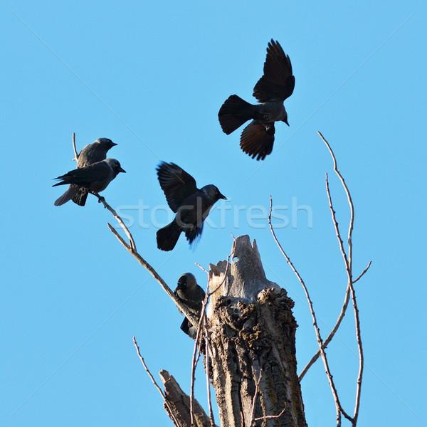 Sereg western felső kidőlt fa természet madár Stock fotó © taviphoto