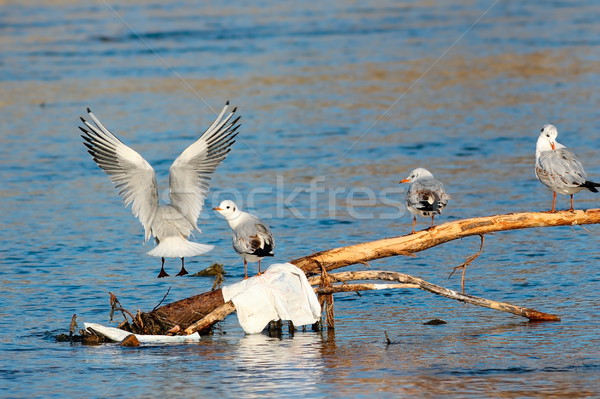 group of black headed gulls Stock photo © taviphoto