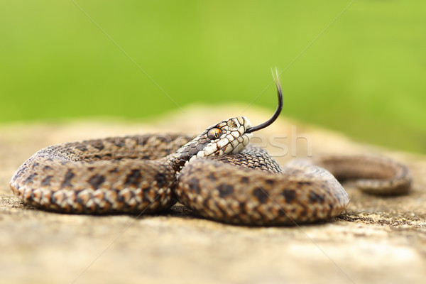 aggressive juvenile meadow viper Stock photo © taviphoto