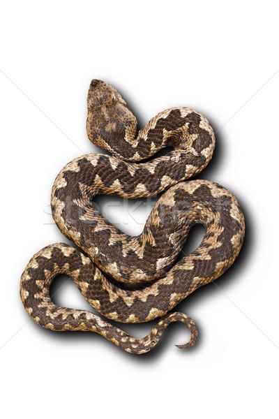 Stock photo: european nose horned viper on white background
