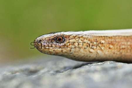 Macro retrato jovem devagar verme grama Foto stock © taviphoto