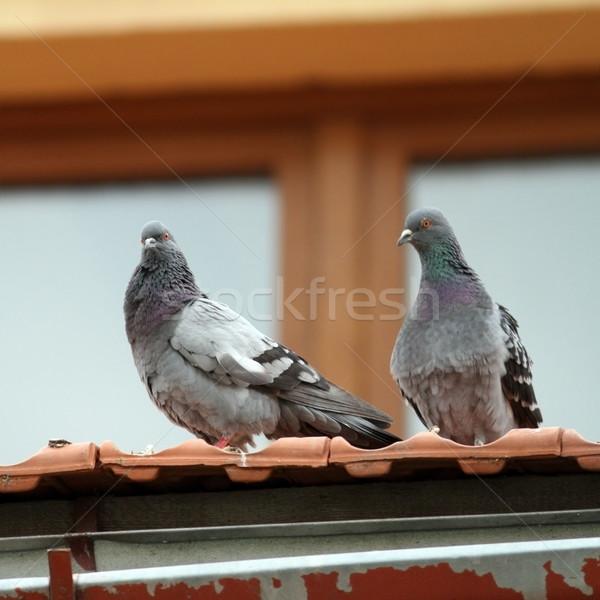 Dois em pé telhado par belo juntos Foto stock © taviphoto