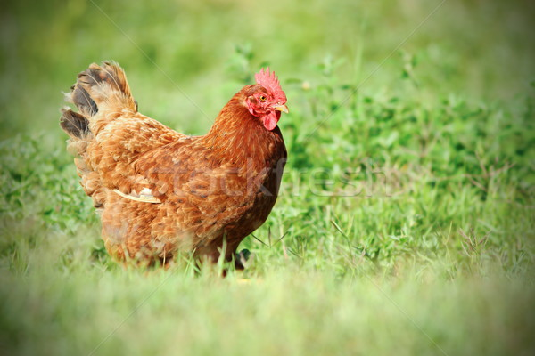 Colorido gallina verde pradera caminando Foto stock © taviphoto