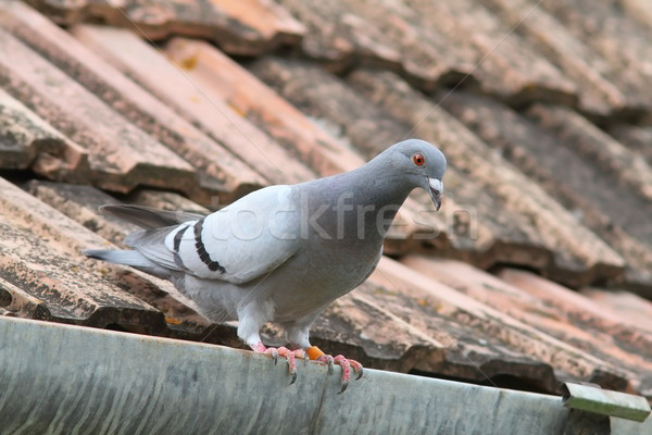 purebreed pigeon on roof Stock photo © taviphoto