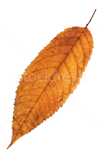 reddish isolated cherry leaf Stock photo © taviphoto