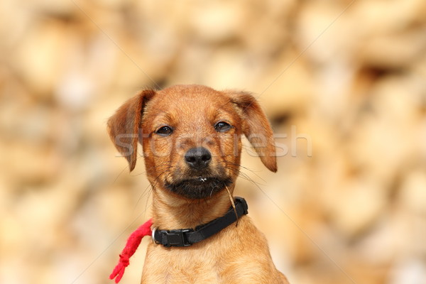 portrait of cute doggy Stock photo © taviphoto