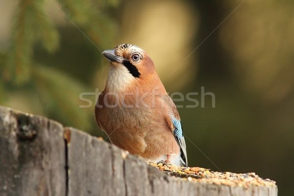 european jay on a feeder stump Stock photo © taviphoto