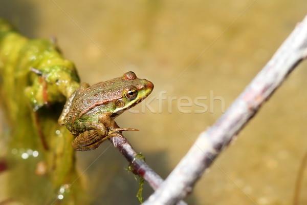 marsh frog on a twig Stock photo © taviphoto
