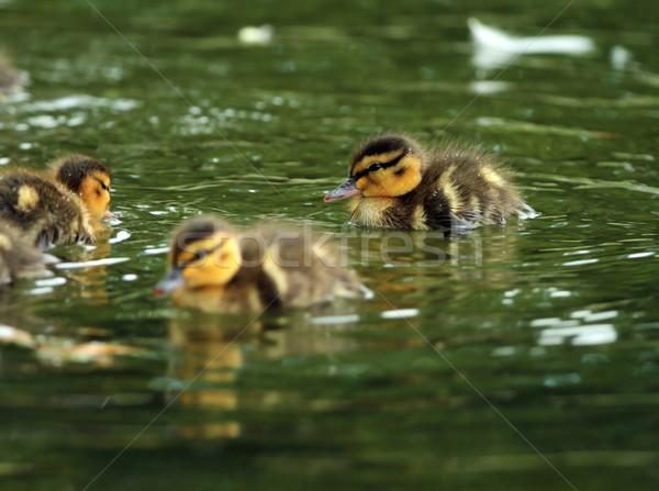 Jonge water zwemmen wateroppervlak voorjaar natuur Stockfoto © taviphoto