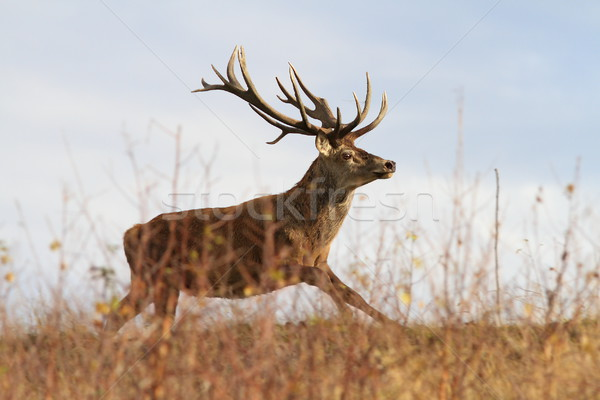 beautiful red deer stag on the run Stock photo © taviphoto