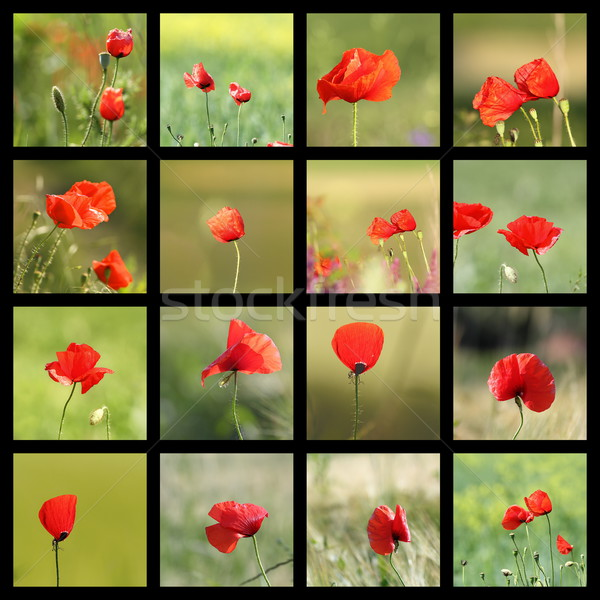 collection of images with poppies Stock photo © taviphoto