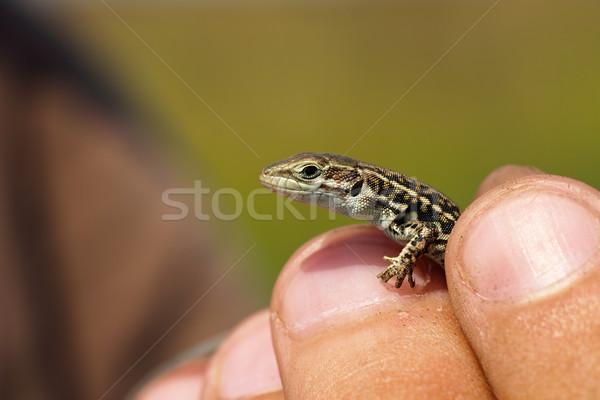 Tart fal gyík kéz juvenilis textúra Stock fotó © taviphoto