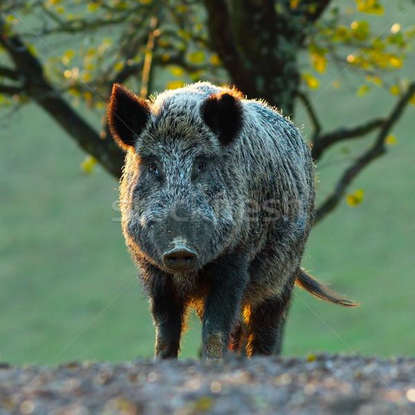 big wild boar looking at camera Stock photo © taviphoto