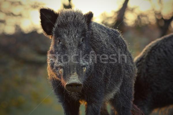 Foto stock: Javali · pôr · do · sol · luz · animal