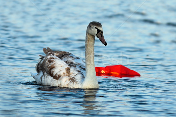 juvenile mute swan swimming on polluted river Stock photo © taviphoto