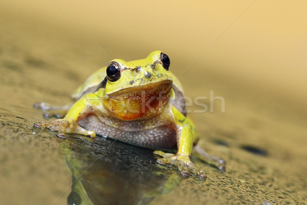 curious tree frog Stock photo © taviphoto