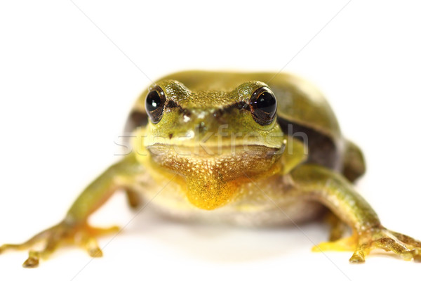 cute tree frog on white background Stock photo © taviphoto
