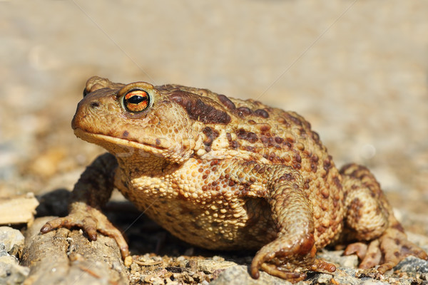 female common brown toad close up Stock photo © taviphoto