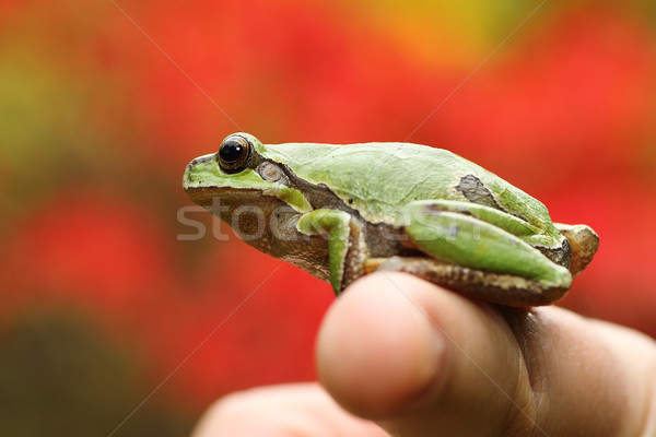 green tree frog on woman's finger  Stock photo © taviphoto