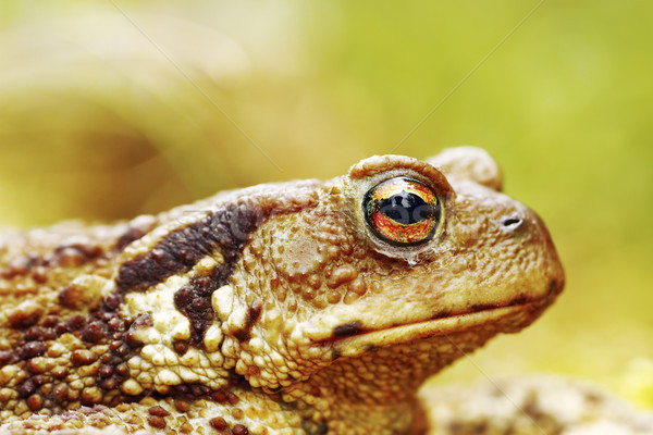 macro image of common brown toad head Stock photo © taviphoto