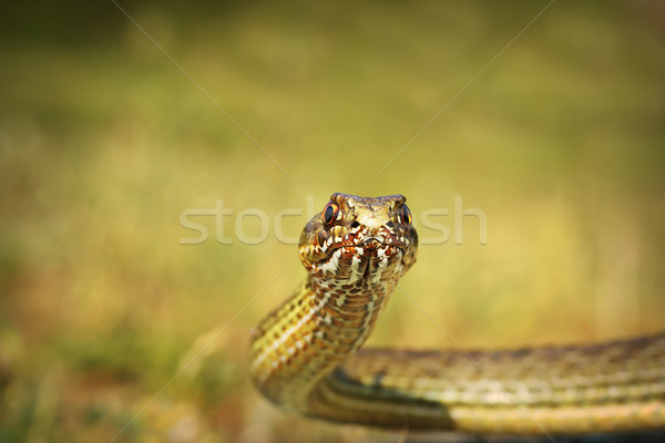 eastern montpellier snake portrait Stock photo © taviphoto