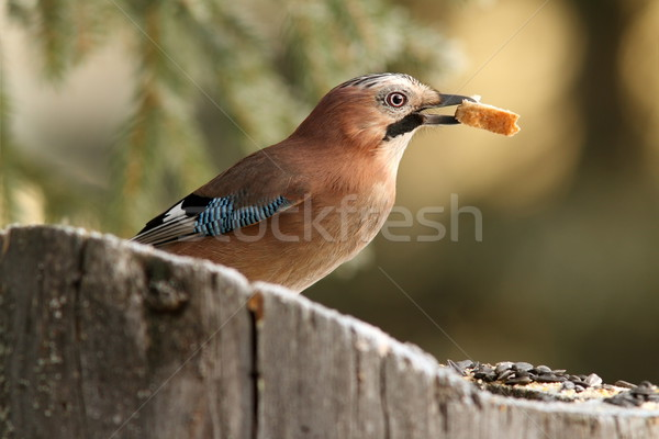 european jay eating bread Stock photo © taviphoto