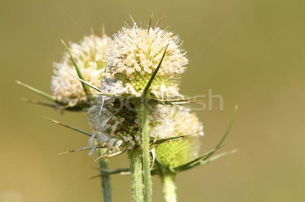 thorn flower Stock photo © taviphoto