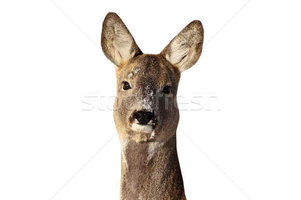roe deer doe portrait Stock photo © taviphoto