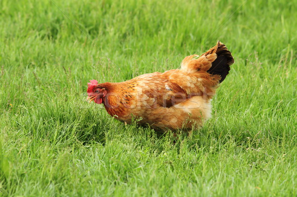 hen grazing on meadow Stock photo © taviphoto