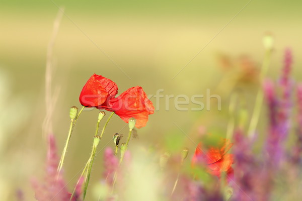 two beautiful poppies in the field Stock photo © taviphoto