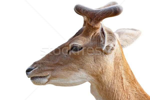 portrait of young deer buck over white Stock photo © taviphoto