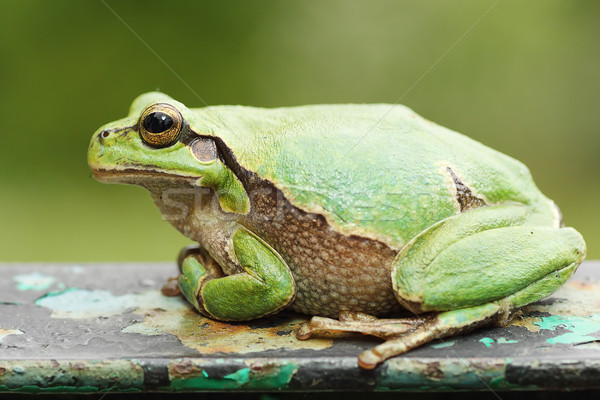 cute colorful tree frog Stock photo © taviphoto